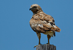 gallery of red tailed hawk photos