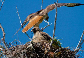 photo of 2 red tailed hawks