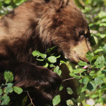 photo of Black Bear eating Hawthorn berries