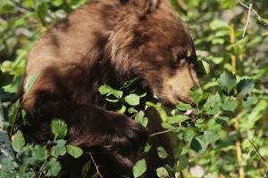 photo of Black Bear eating Hawthorn berries
