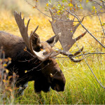 photo of Bull Moose waiting for off camera cow Moose