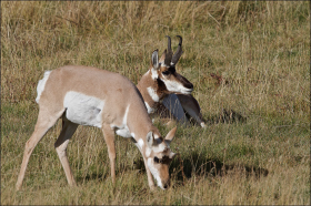 photo of pronghorn buck and doe