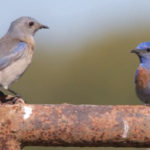 AVR bluebirds