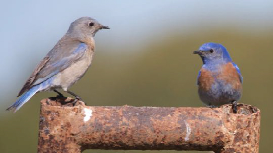 AVR bluebirds
