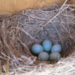 Blue Bird Nest Eggs